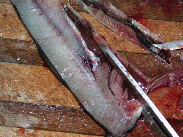 Cut Bait or herring for salmon fishing on the Great Lakes II