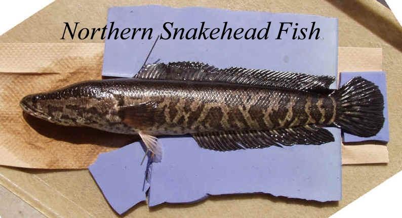 Snakehead fish walking