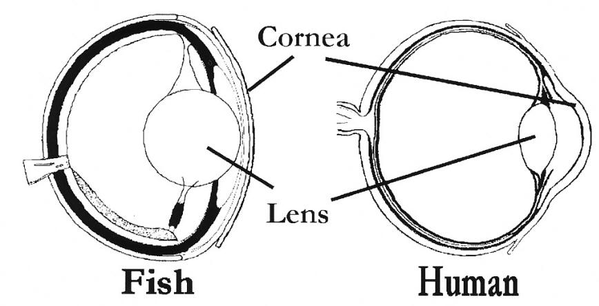 Fish eye anatomy